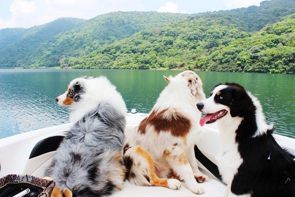 Photos From Buyers Quality Aussies Australian Shepherd Aussie Dogs Dogs