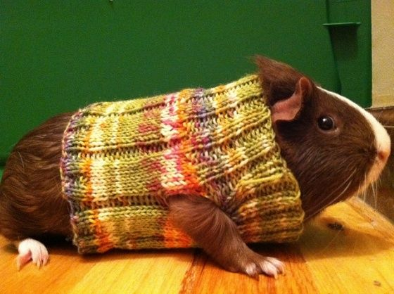 Guinea Pig sweaters.