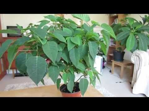 Poinsettia Care: After Flowering - YouTube