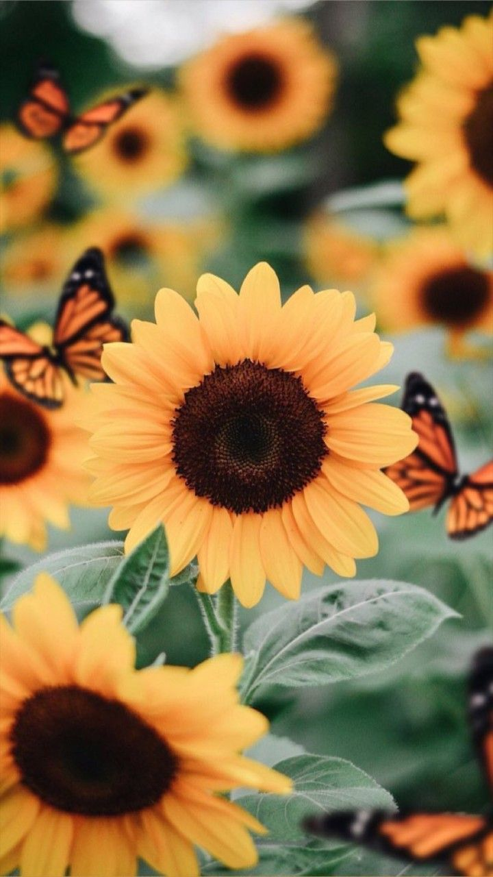 Girasoles Sunflower Wallpaper Sunflower Pictures Flower Wallpaper