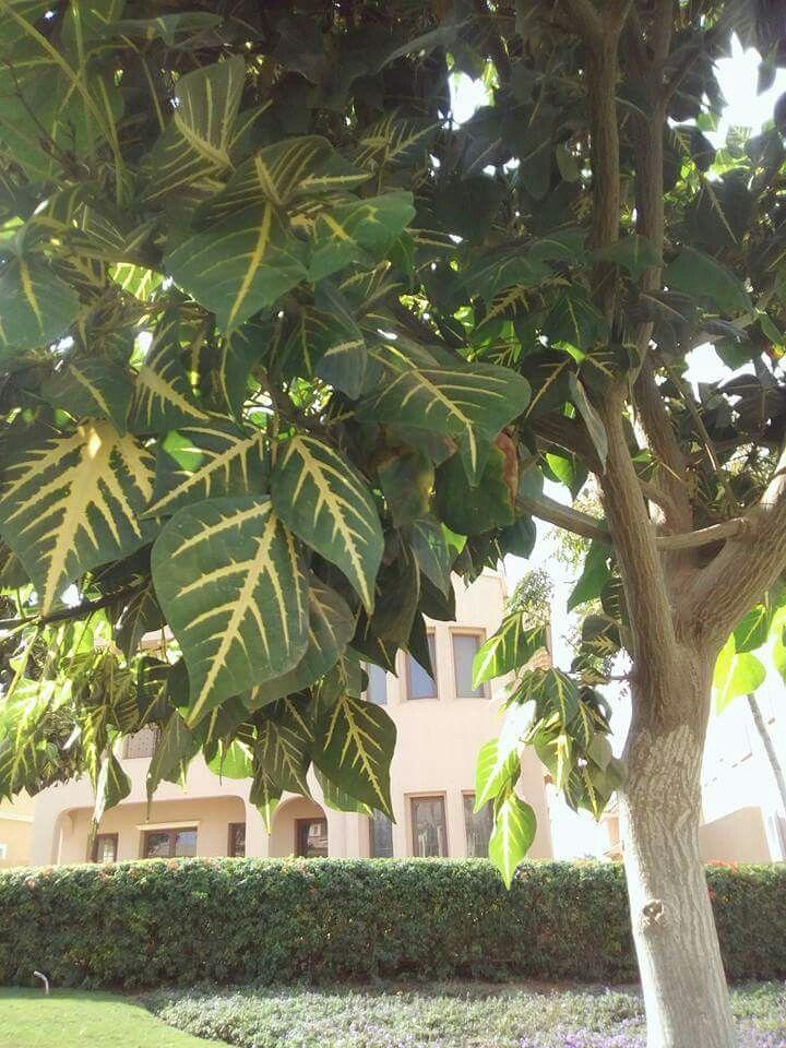 شجرة ارثرينا Plant Leaves Plants Leaves