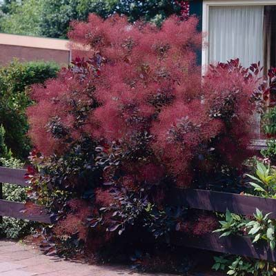 Unique Purple Foliage Transforms To Bright Red High Demand Tree Puts On An Amazing Show The Royal Smoke Doesn T Conform Typical Pastels