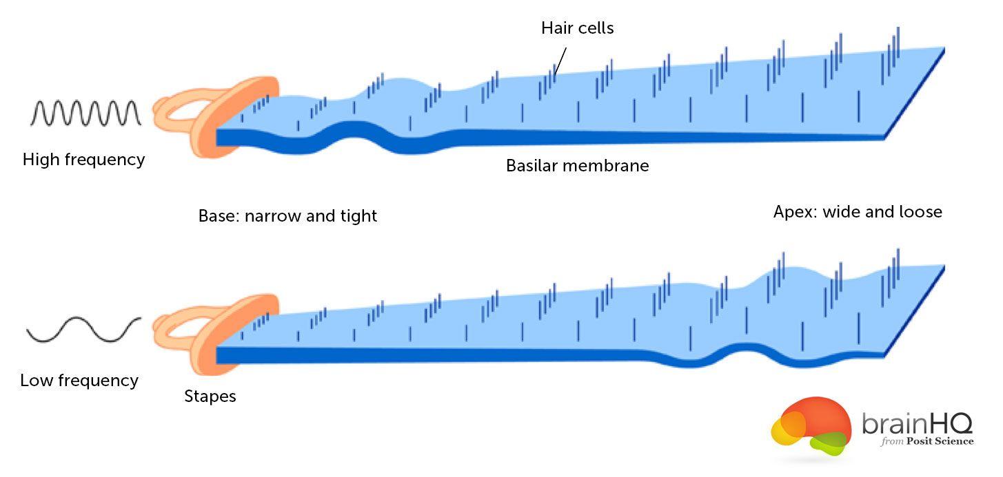 basilar-membrane.jpg (1455×693)   Anatomy of ears   Pinterest