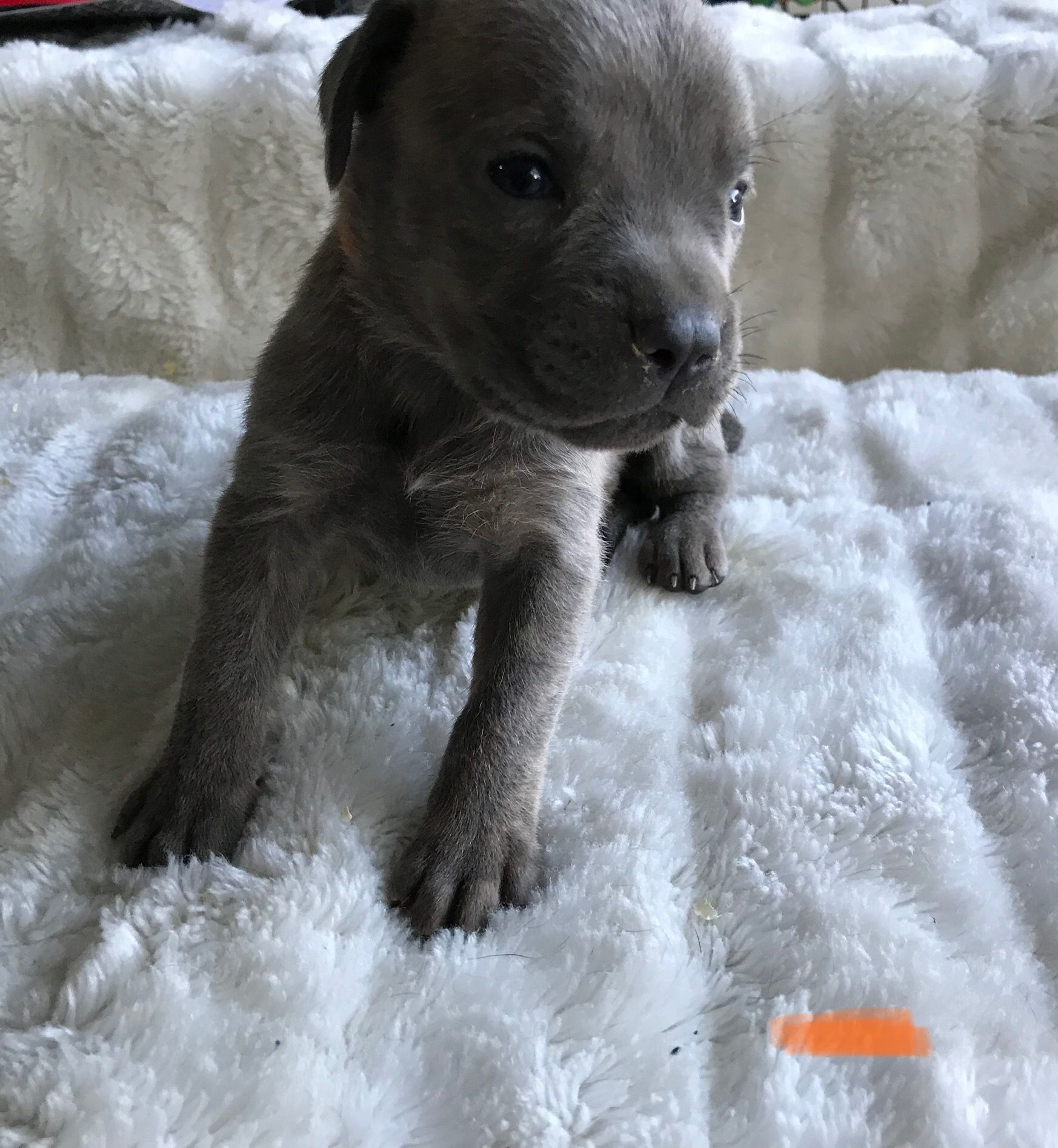 Breed Cane Corso Gender Female Registry Akc Personality Bouncy