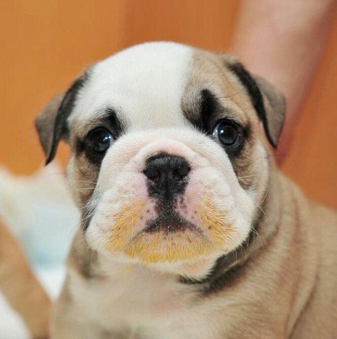Blonde Beard Bully Dog English Bulldog Puppy Bulldog Puppies