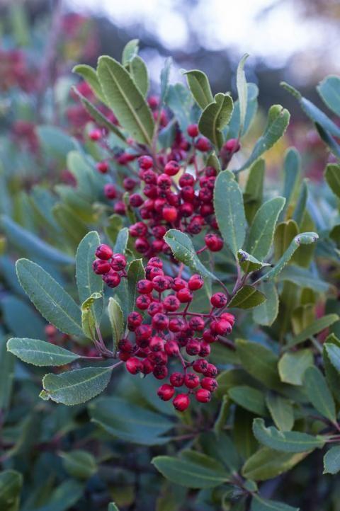 heteromeles arbutifolia toyon