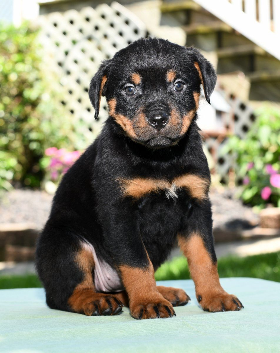 Puppies For Sale Puppies Rottweiler Puppies Rottweiler Lovers