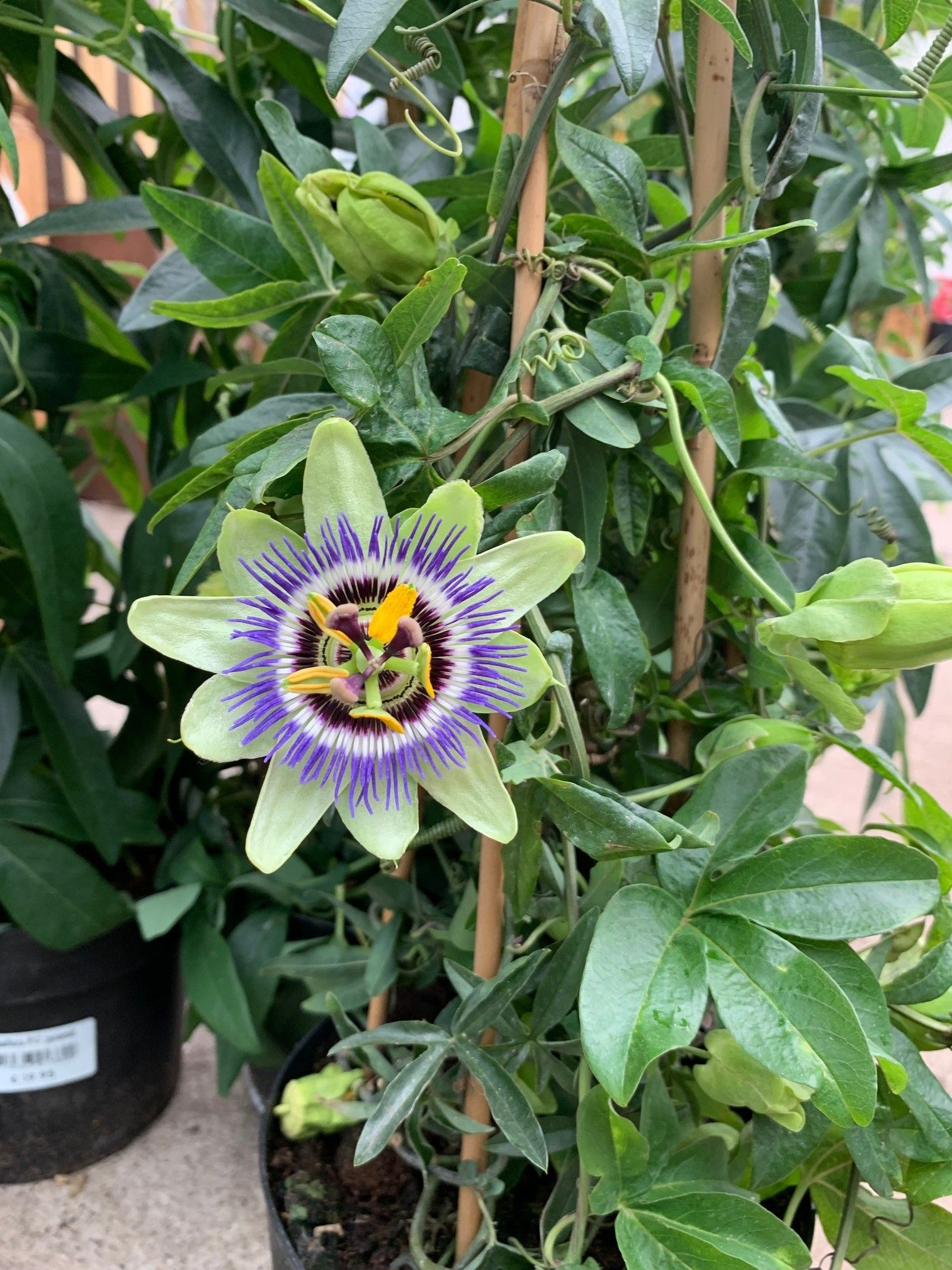 Passiflora Caerulea Passion Flower Passionflower Cicek