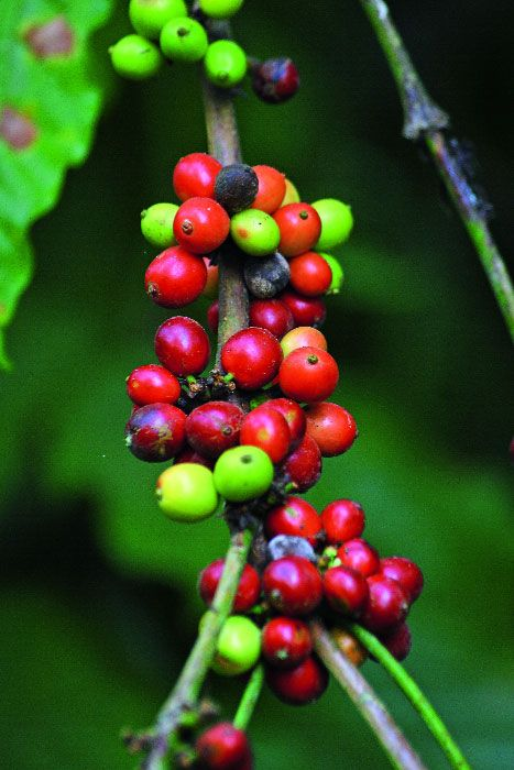 You D Never Realise This Is Where Your Bean Started Coffee Bean Tree Coffee Beans Coffee Love