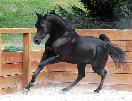 EA Java (True Colours x Alize by The Elixir)  2005 black SE stallion bred by Ken Froats - Tail Male Saklawi - Tail Female El Dahma