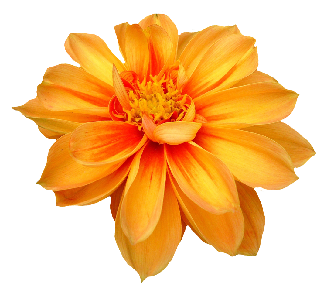 Dahlia Flower Png Image Flower Png Images Dahlia Flower Flowers