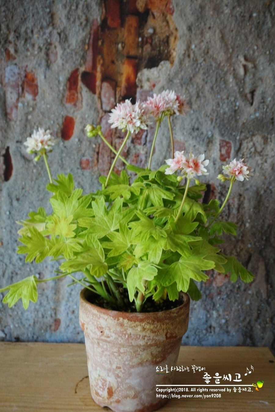 Immagini Piante E Fiori pin di edda dalloco su piante e fiori   gerani, fiori, piante