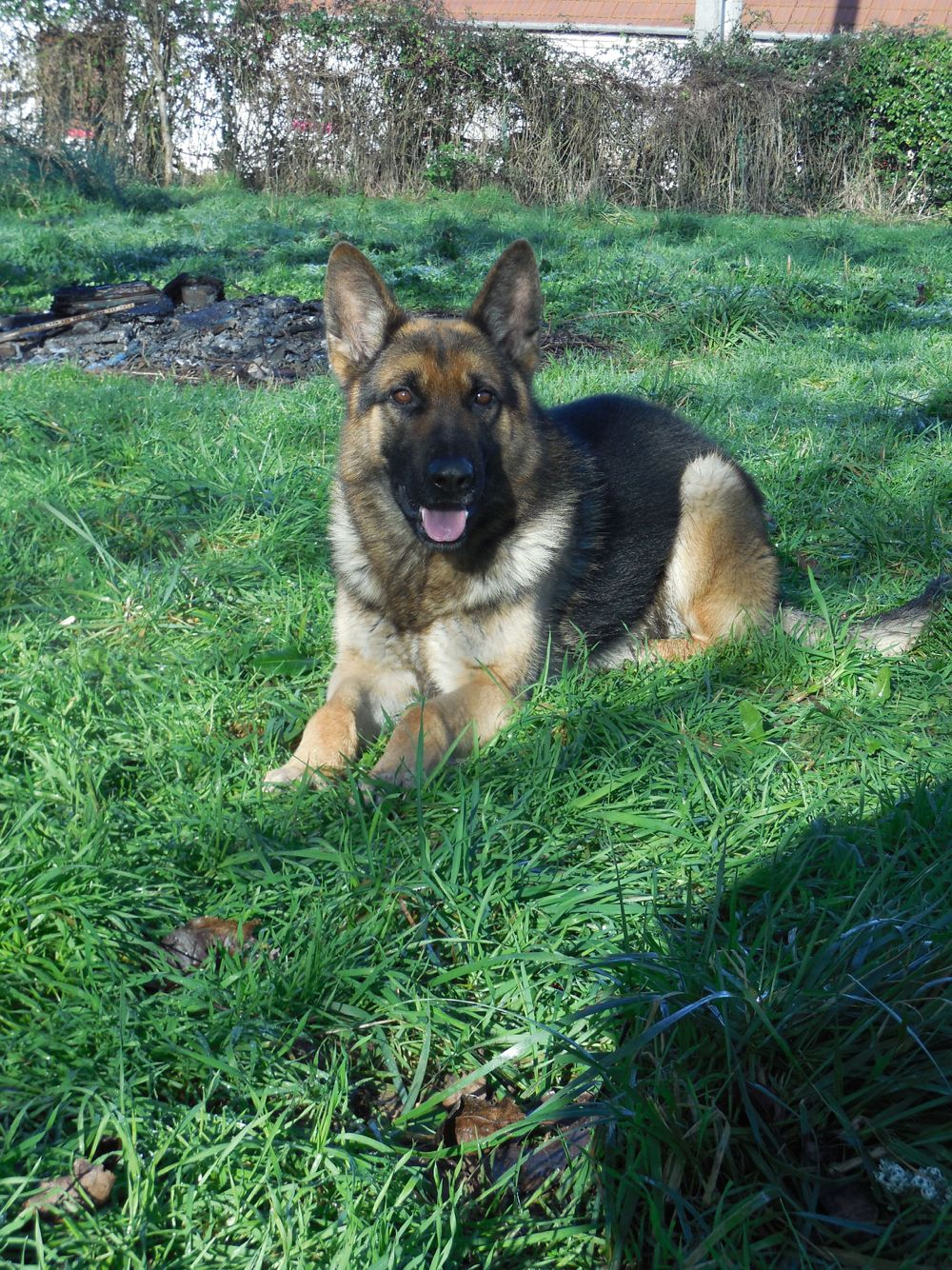 Trained German Shepherd Protection Dog. Dogs, Dog