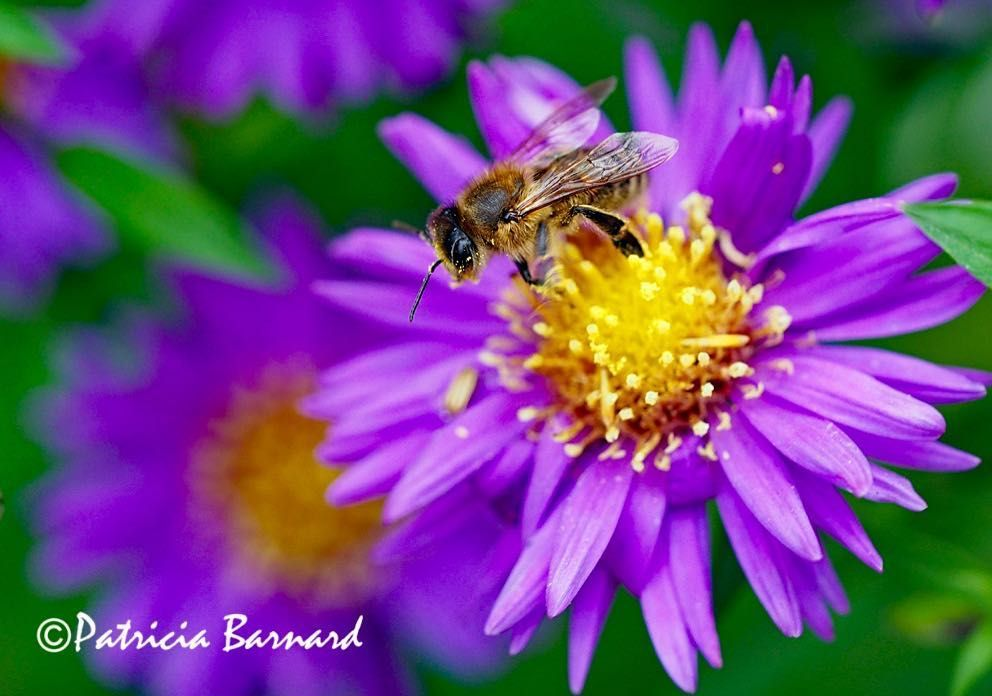 Asters Definitely A Magnet For Bees Flowers Flowerphotography Flowerphotos Aster Be Bee Friendly Flowers Bee Friendly Garden Wildlife Photography