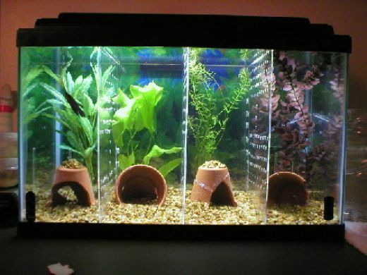 How to make a divided tank for betta fish pet fish for Betta fish tank ideas