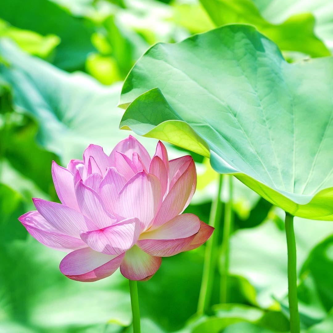 南禅寺にて 美しいピンクの蓮の花 大きな葉の陰に隠れているよう きっとお花も暑いですよね 京都 南禅寺 蓮の花 蓮 ハス お花 風景 美しい 幸せ そうだ京都行こう 写真好きな人と繋がりたい はなまっぷ 日本の風景 Kyoto Na 蓮の