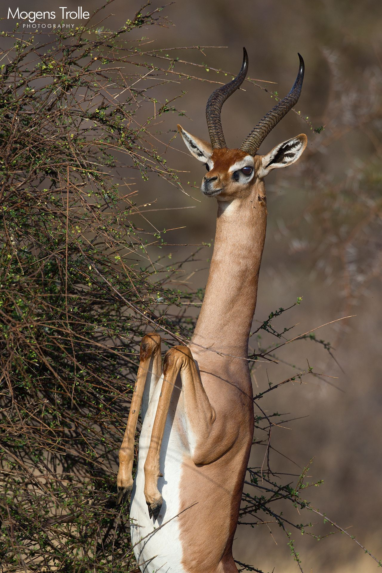 The gerenuk, aka giraffe-necked antelope, characteristically feeds by standing on its hindlegs and using the frontlegs to support itself against the bush it feeds from. When it is ready to get back down on all four it takes a step or two back and that gives you less than a second to catch it as it stands unsupported in a bizarre-looking bipedal stance with its spindle legs bent in a preying mantis fashion.  Samburu, Kenya.