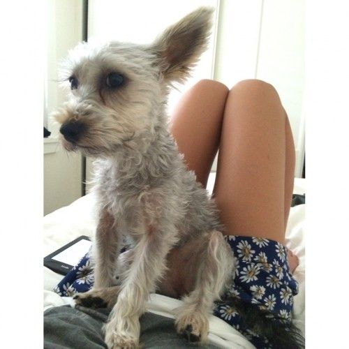 Reunited Silky Terrier Leichhardt Nsw 2040 Silky Terrier Terrier Losing A Dog