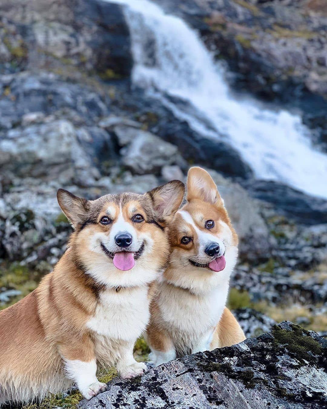 Pin By Nikola Chun On Animals In 2020 With Images Corgi Dog Corgi Cute Corgi