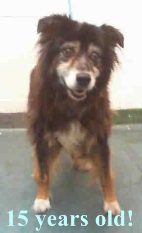 GONE --- MAGGIE (A1688810) I am a female tricolor Australian Shepherd.  The shelter staff think I am about 15 years old and I weigh 37 pounds.  I was turned in by my owner and I am available for adoption. — hier: Miami Dade County Animal Services https://www.facebook.com/urgentdogsofmiami/photos/pb.191859757515102.-2207520000.1428961505./962120747155662/?type=3&theater