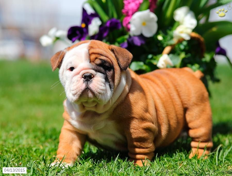 Pin em English Bulldog puppies