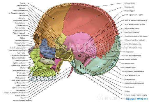 Cavidad craneal - Suturas del cráneo | gfd | Pinterest | Anatomía ...