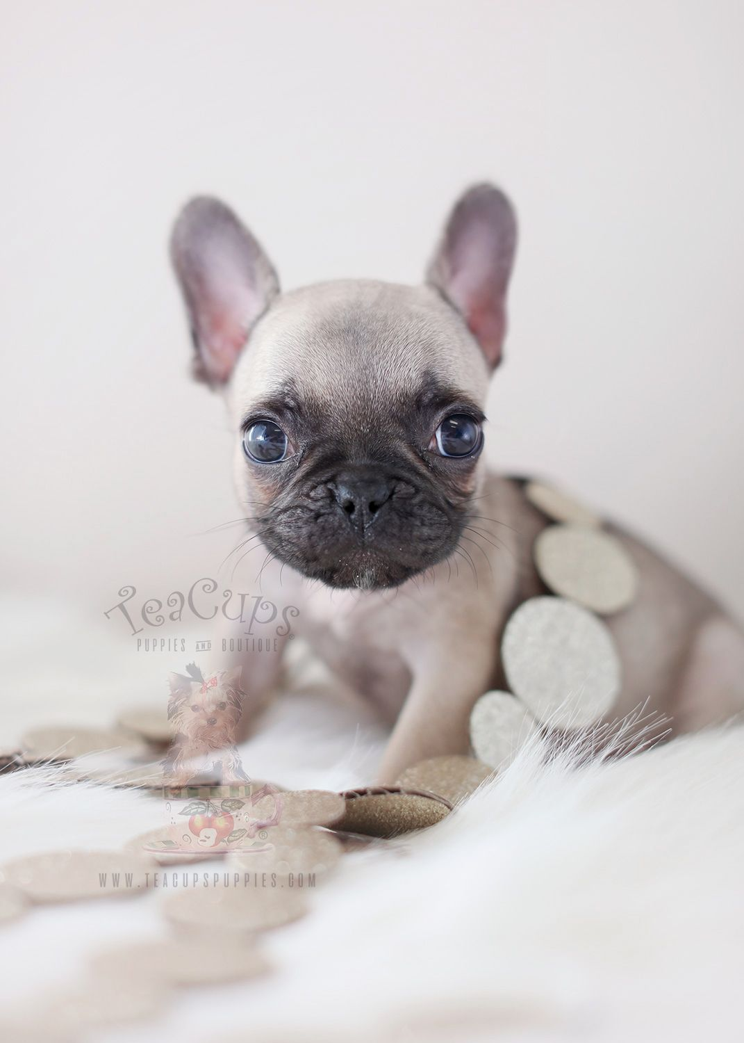 Tiny French Bulldog Puppy 382 For Sale By Teacup Puppies Bulldog Puppies Teacup Puppies French Bulldog Puppies