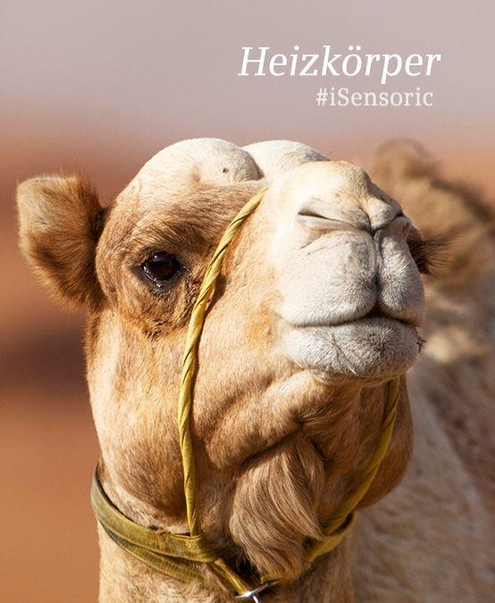 Camels are amazing energy-savers, they increase their temperature up to 41 degrees so they sweat much less. Another hot tip: #Siemens #iSensoric temperature sensor. // Kamele können bei Wassermangel ihre Körpertemperatur auf 41 Grad erhöhen. So schwitzen sie weniger und sparen Energie und Wasser. Noch ein heißer Tipp: Der Siemens Temperatursensor.
