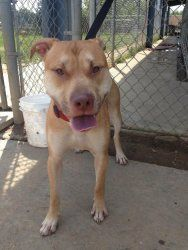 """URGENT!! MEET LOVABLE """"OTIS""""!!! (KENNEL#1) Kennel # 01 is an adoptable Pit Bull Terrier Dog in Elyria, OH. Kennel #� 01 � available for adoption� 6/1..."""