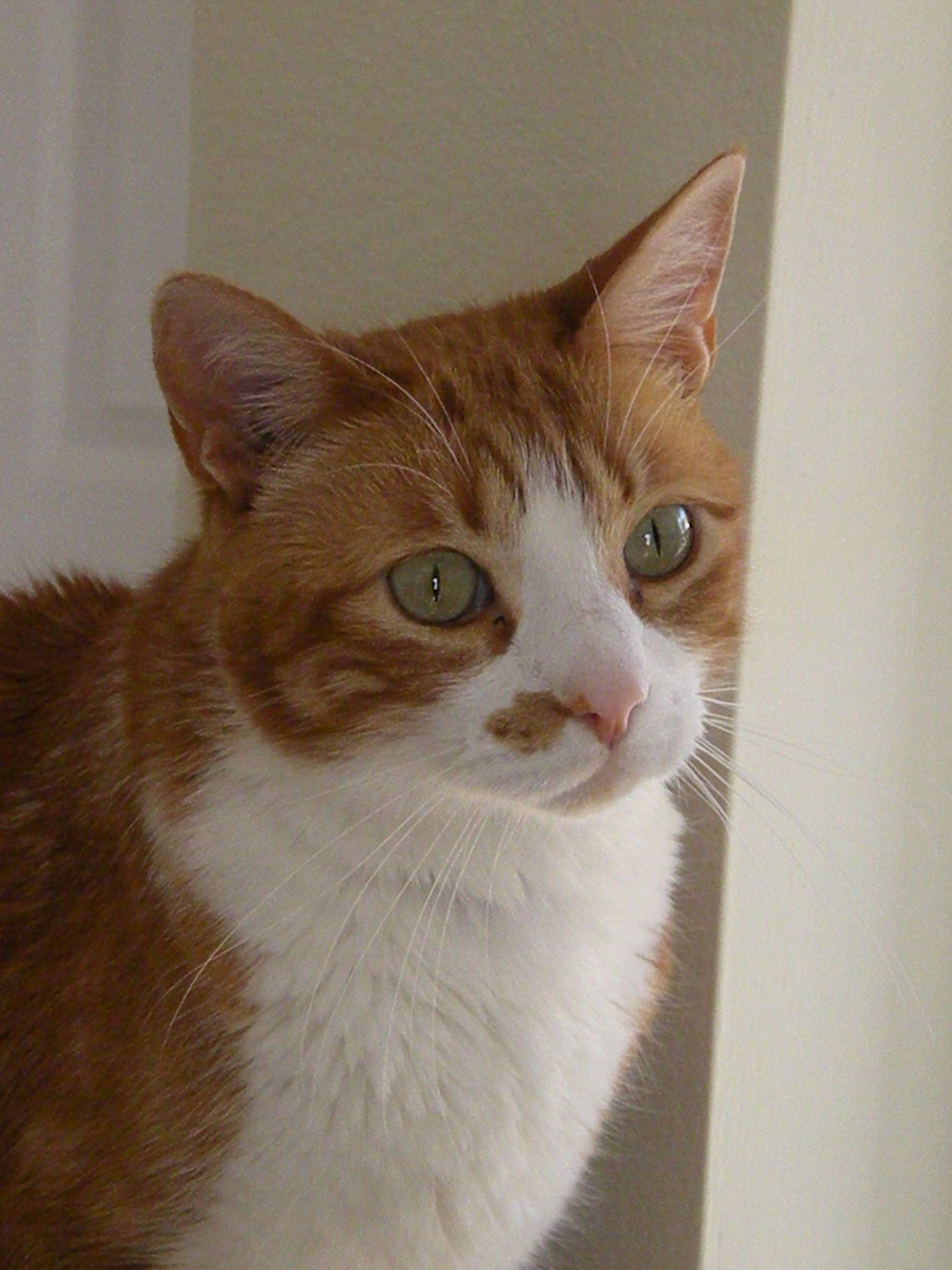 An orange tabby with facial markings and nose spot