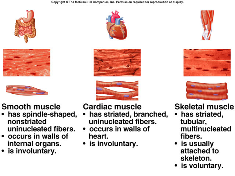 Three Types Of Muscle Tissue Iilyear4 Anatomy Physiology