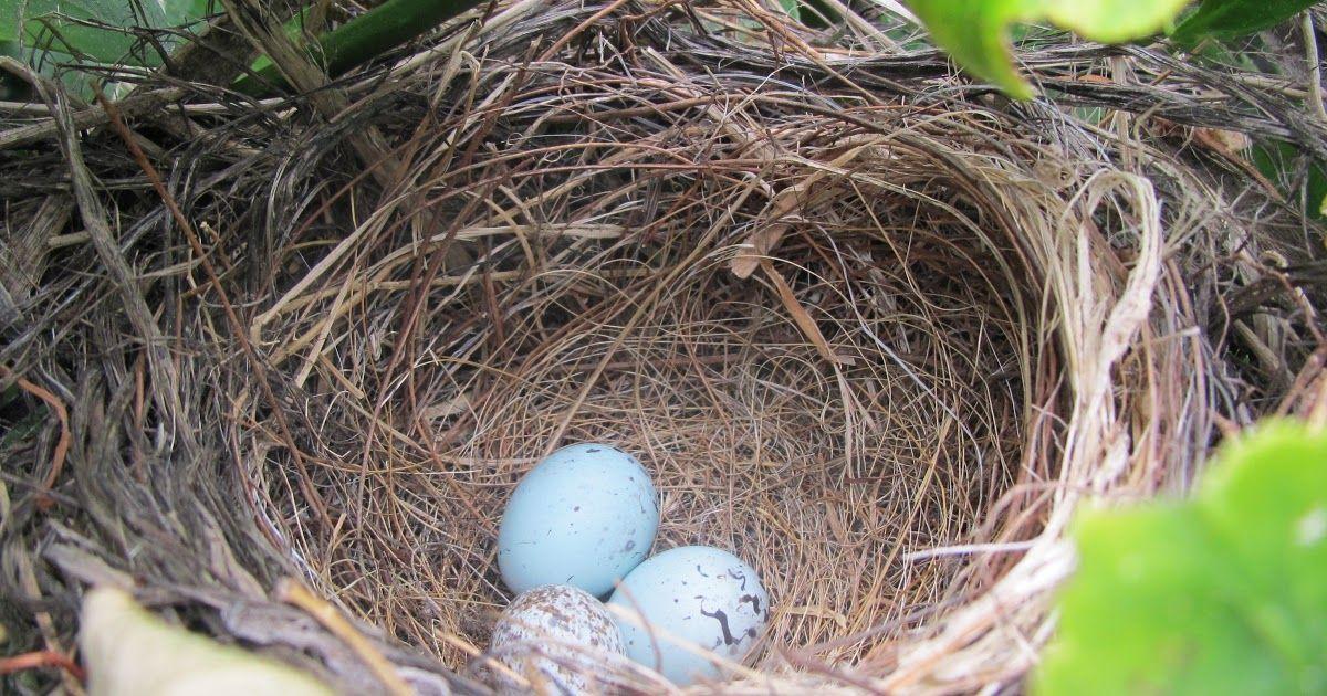 Download Gambar Sarang Burung Burung, Sarang burung, Gambar