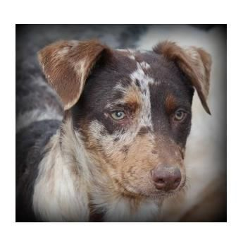 Australian Koolie Rescue Koolie Dog Rescue Dogs Dogs