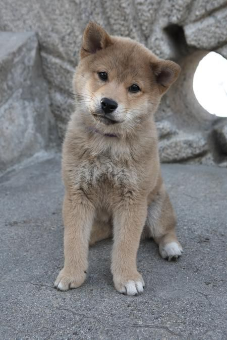 What Type Of Dog Is Hachi : hachi, Dream, Akita, Puppies,, Puppies
