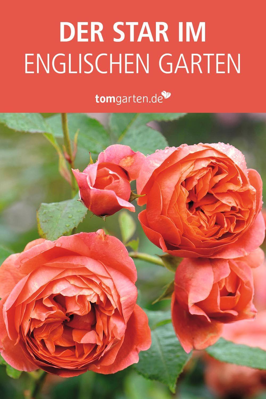 Pin Auf Rosen Koniginnen Im Garten