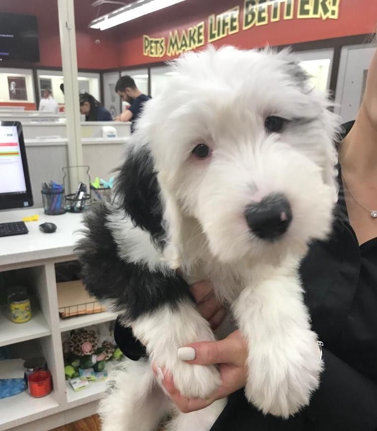 Our Sheepadoodle Fur Baby Will Leave Paw Prints On Your Heart Look At That Face Sheepadoodle Sheepadoodlepuppy In 2020 Sheepadoodle Puppy Cute Dogs Puppies