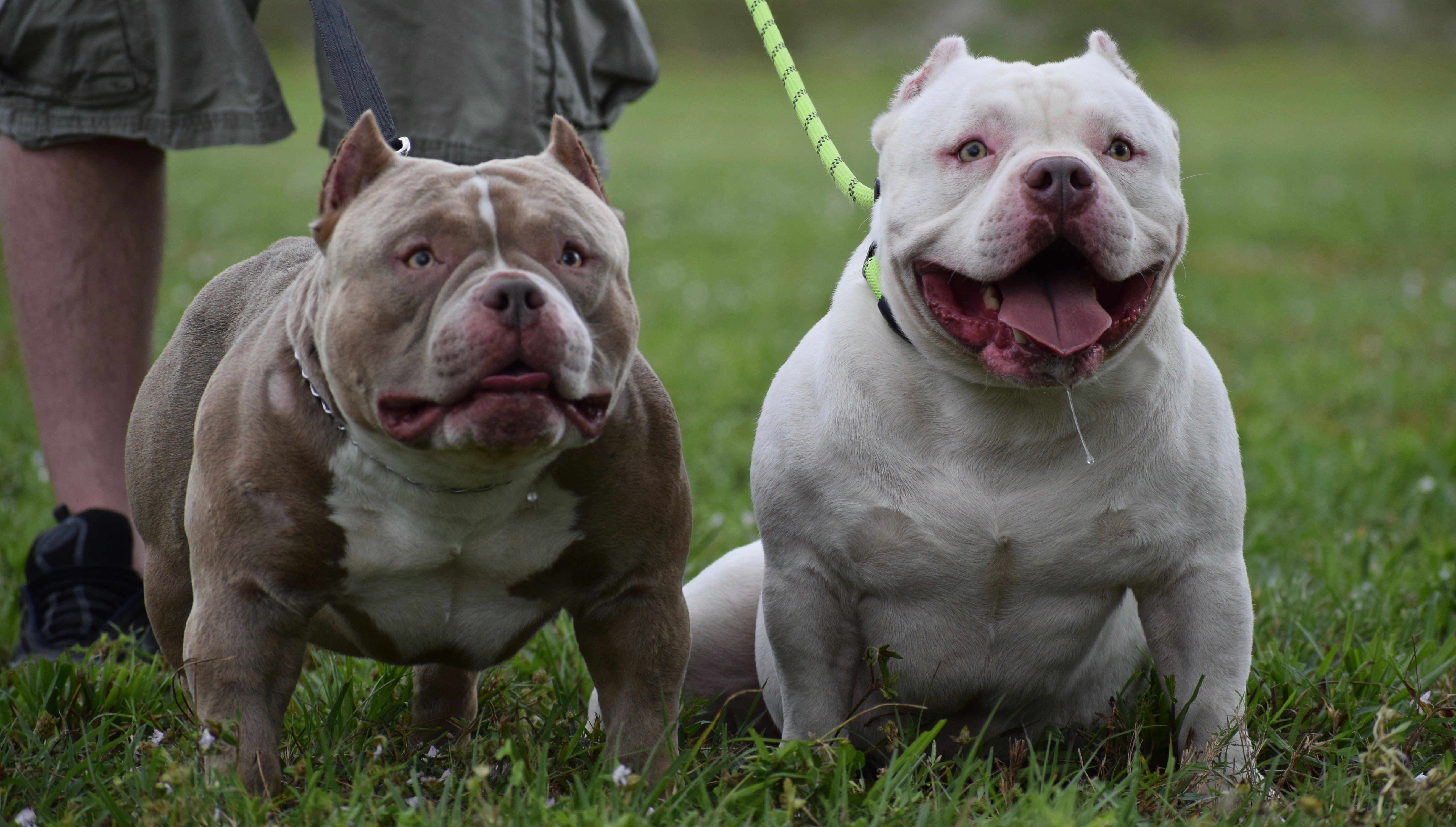 Pictures Of American Bully