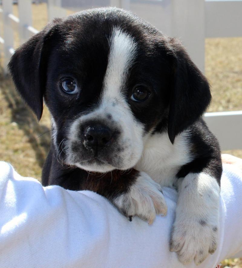 Adopt Maci On Petfinder Beagle Mix Puppies Terrier Puppies Cute Animals