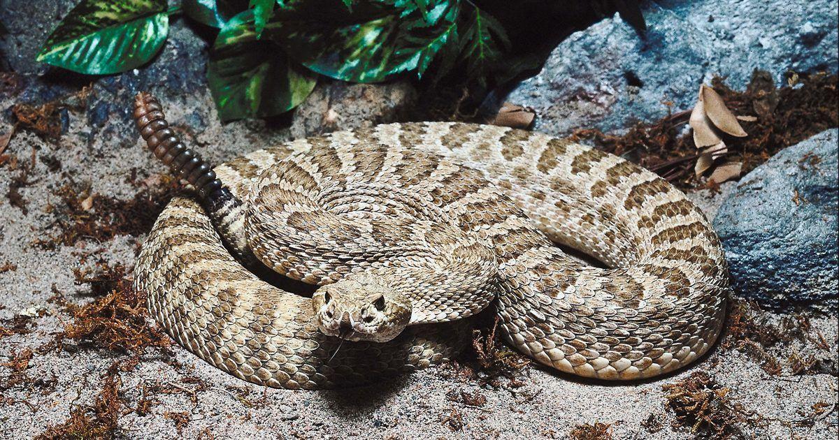Resultado de imagen de serpiente de cascabel pigmea
