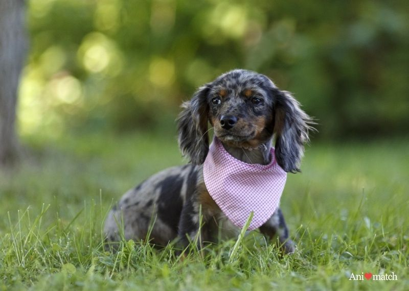 Kelly A Female Dachshund X Cavalier King Charles Available For