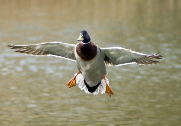 photos of ducks landin...