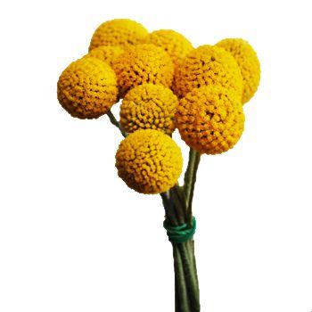 Craspedia Billy Balls Yellow Flower Fiftyflowers Com Yellow Flowers Wholesale Flowers Wedding Flower Ball