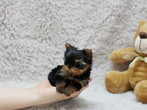 Micro Tiny Teacup Yorkie Puppies Available Virginia Beach Va Asnclassifieds In 2020 Yorkie Puppy Yorkshire Puppies Teacup Yorkie Puppy