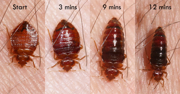 Bed Bug Behavior Habits What Do Bed Bugs Do Bed Bug Bites Kill Bed Bugs Bed Bugs Treatment