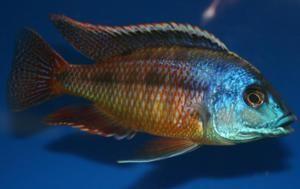 Cichlids Cichlids Malawi Cichlids African Cichlids