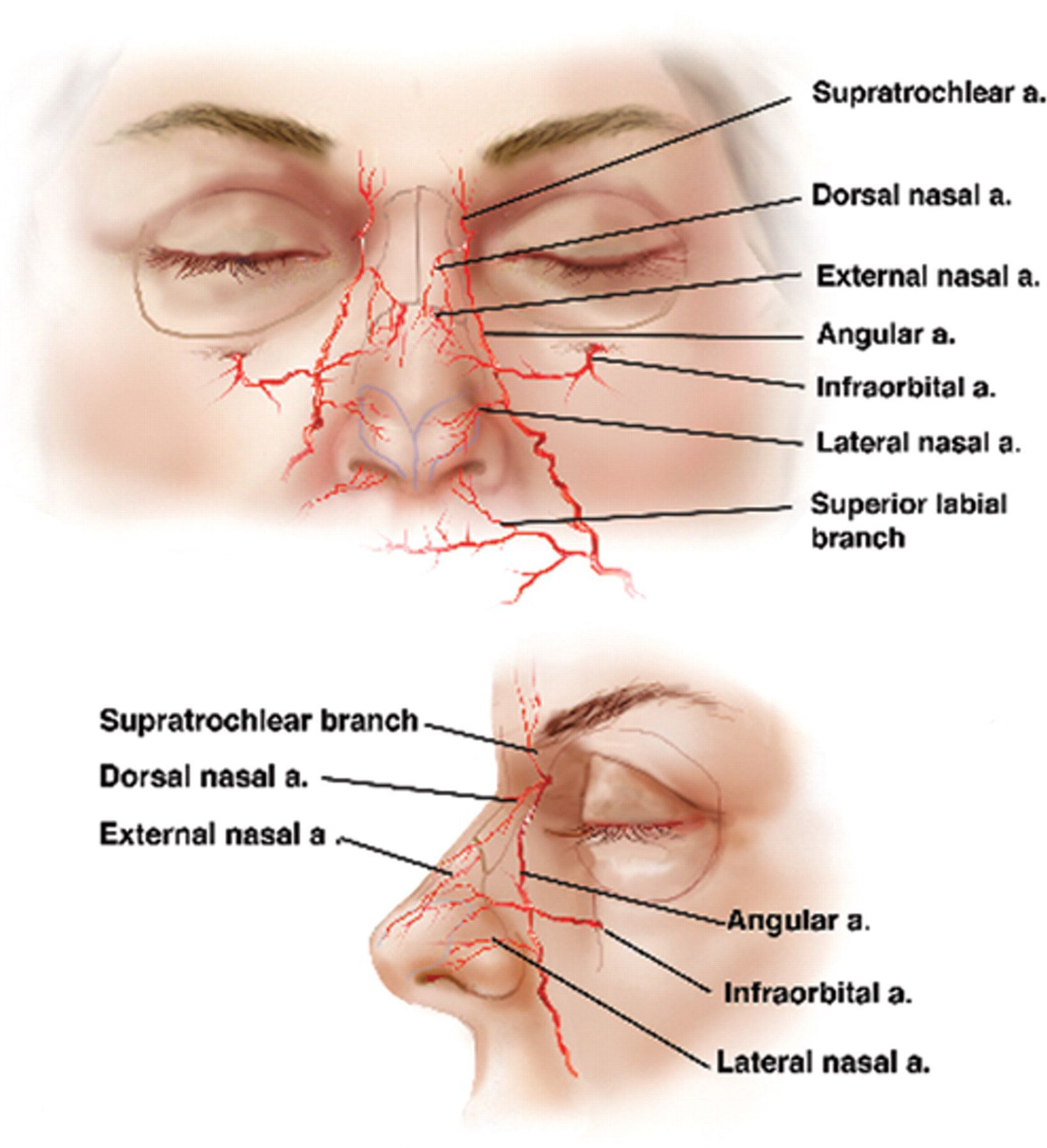 medium resolution of blood supply of nose google search