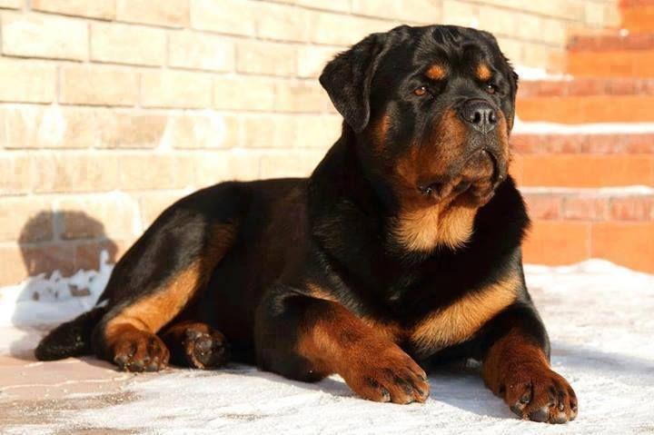 I Love Rottweilers .jpg (720×479)