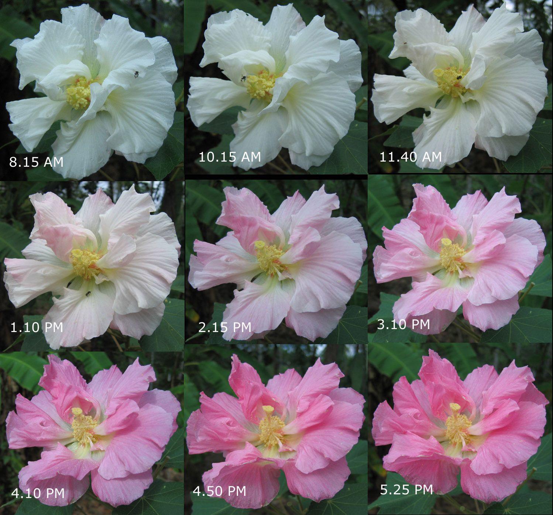 Hibiscus mutabilis wikipedia marymary quite contrary hibiscus mutabilis wikipedia dhlflorist Image collections