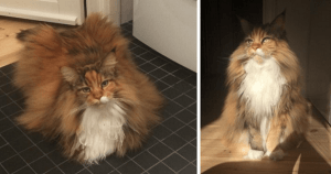 This Gorgeous Maine Coon Cat Has The Fluffiest Fur You'll Ever See