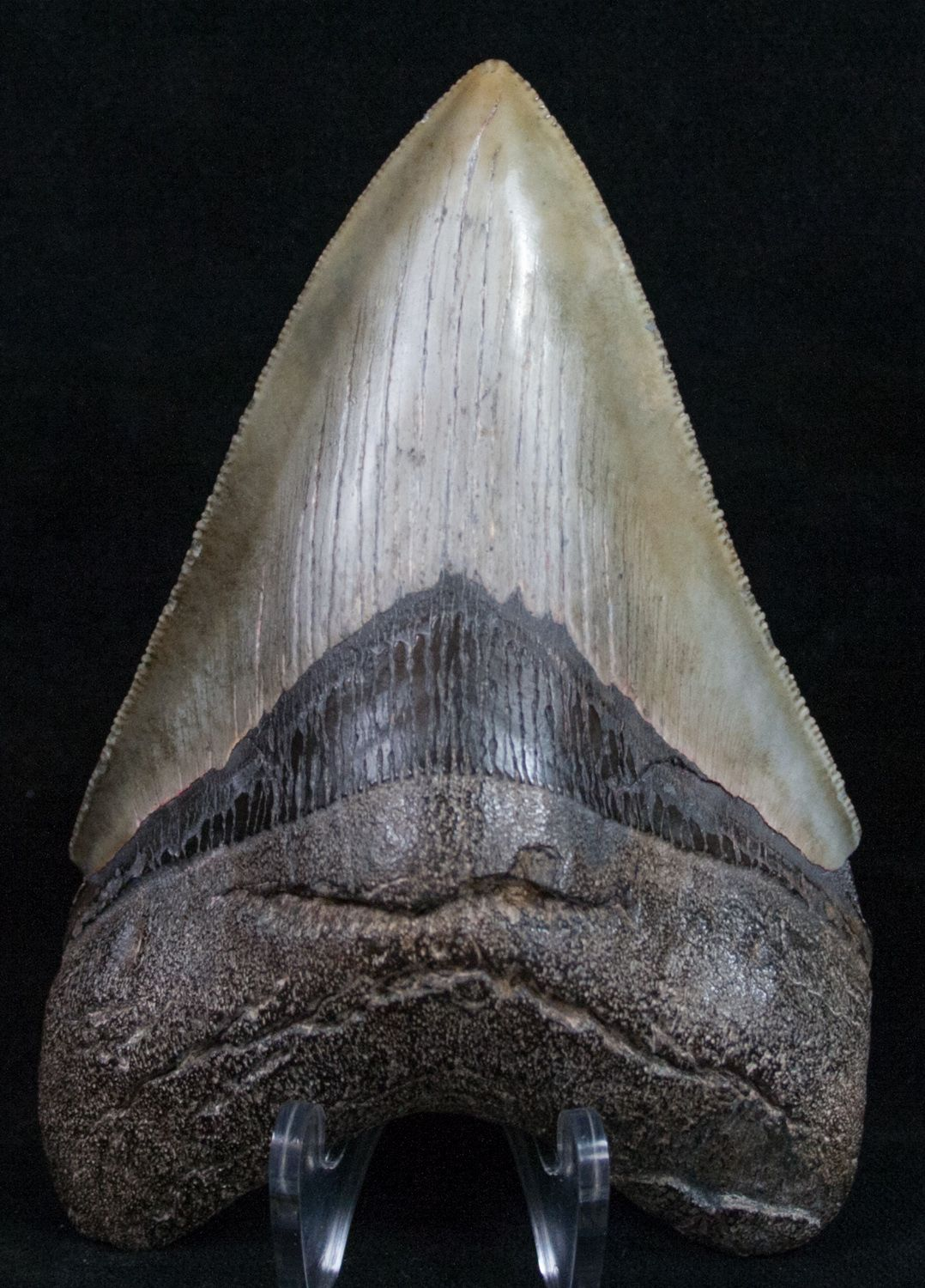 Carcharocles megalodon from River near Medway Sound Georgia #6382-0